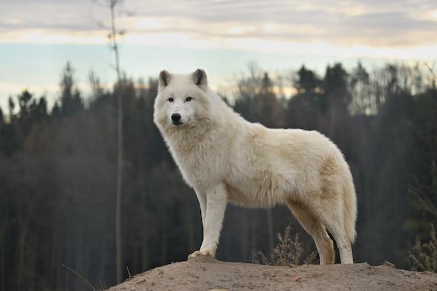 Ogromny arktyczny samiec wilka bardzo z bliska
