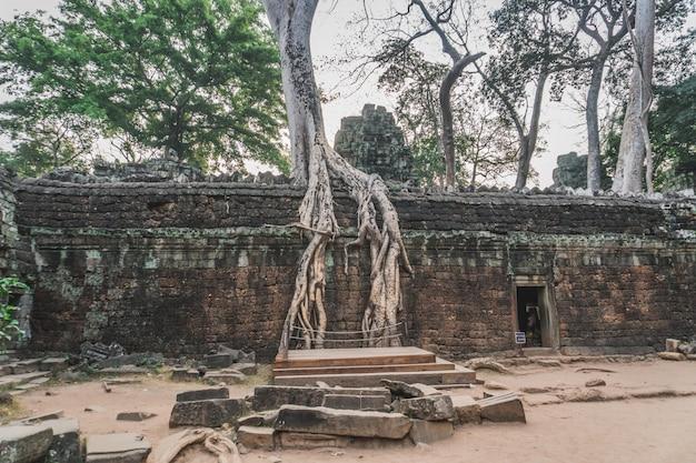 Ogromny banyan drzewo w antycznych angkor wat ruinach