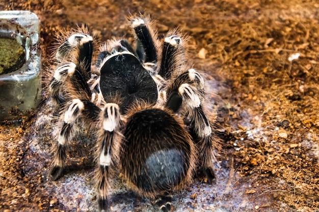 Ogromny brazylijski whiteknee tarantula puszysty, owłosiony pająk siedzi na ziemi, widok z tyłu na brzuchu.