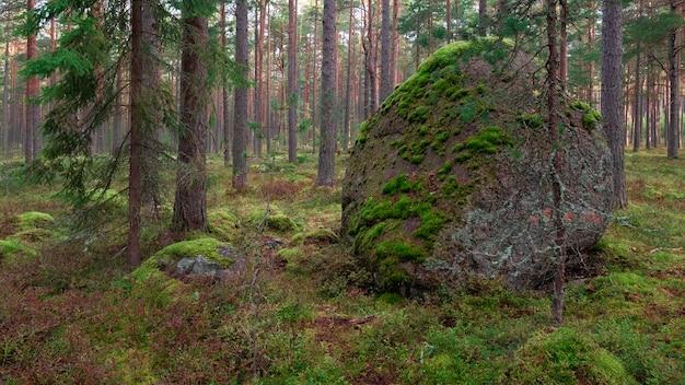 Ogromny głaz porośnięty mchem wśród północnego lasu sosnowego.