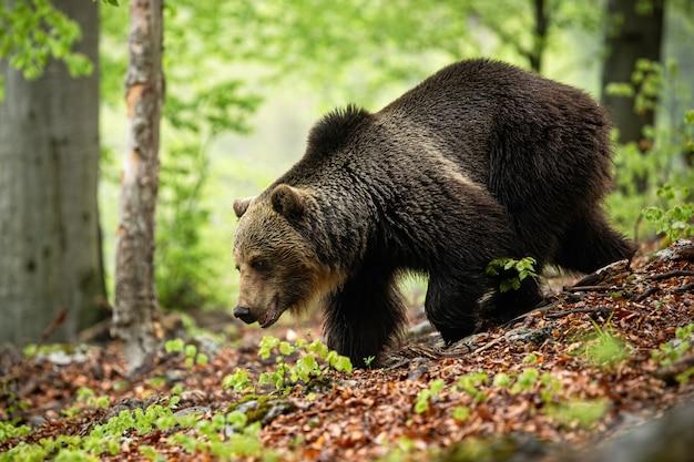 Ogromny niedźwiedź z długim brązowym futerkiem biegnącym w lesie w lecie.