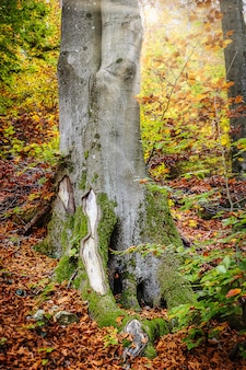 Ogromny pień drzewa w otoczeniu kolorowych liści jesienią w lesie