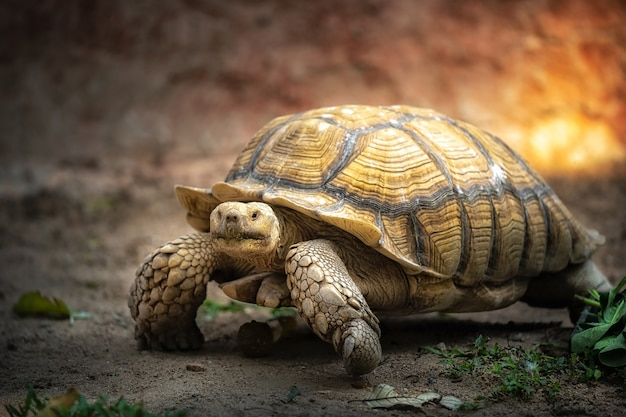 Ogromny żółw spaceruje powoli po zoo.