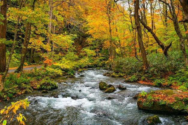 Oirase halny strumień płynie wzdłuż oirase strumienia chodzącego śladu w kolorowym ulistnieniu jesień las przy oirase wąwozem w towada hachimantai parku narodowym, aomori prefektura, japonia.