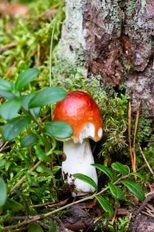 Okaz grzyba krwawego brittlegill, russula sanguinea, russulaceae. różowy grzyb jadalny w lesie, wrzesień