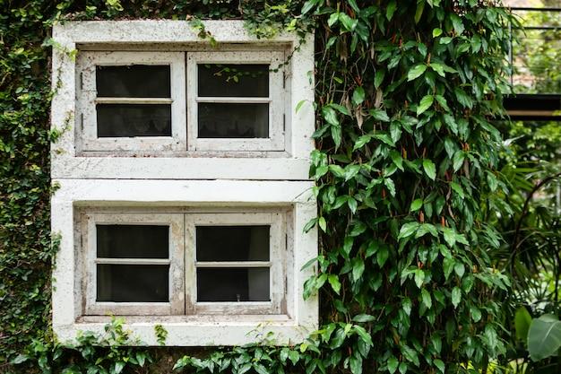 Okno starożytnego domu pokryte winoroślą lub wspinaczem