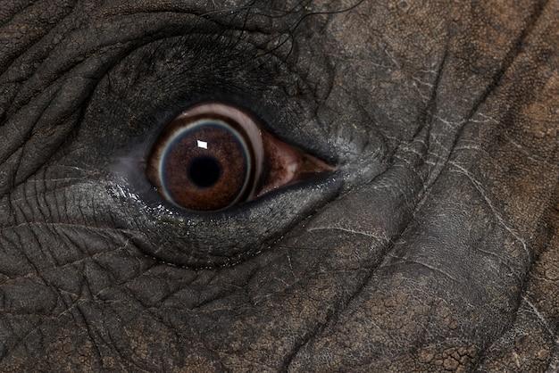 Oko afrykańskiego słonia się blisko