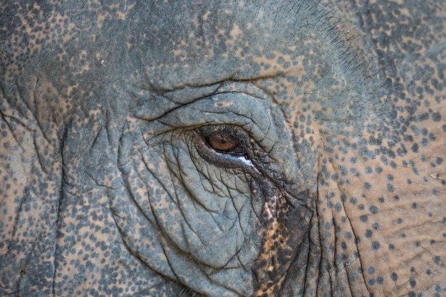 Oko słonia