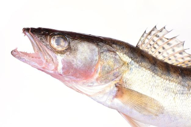 Okoń rybny