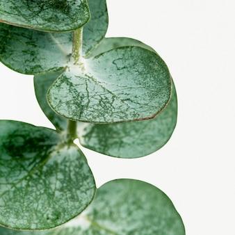 Okrągłe liście eukaliptusa na białym tle