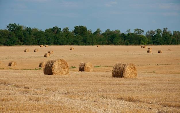 Okrągłe snopki siana na letnim polu, na tle lasu i błękitnego nieba.