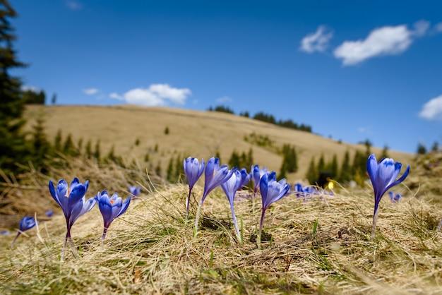 Okwitnięcie krokusy przy wiosną w alps górach