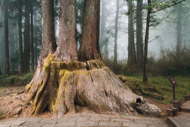 Olbrzymi korzeń długowiecznych drzew cedrowych z mchem w lesie w alishan national forest recreation area w chiayi county, alishan township, tajwan.