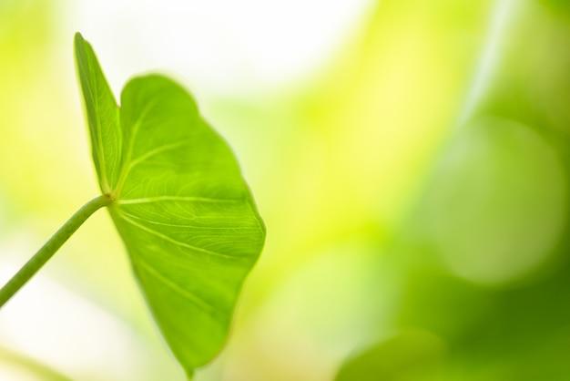 Olbrzymi liść taro araceae - zielone rośliny chwasty wodne w tropikalnym lesie