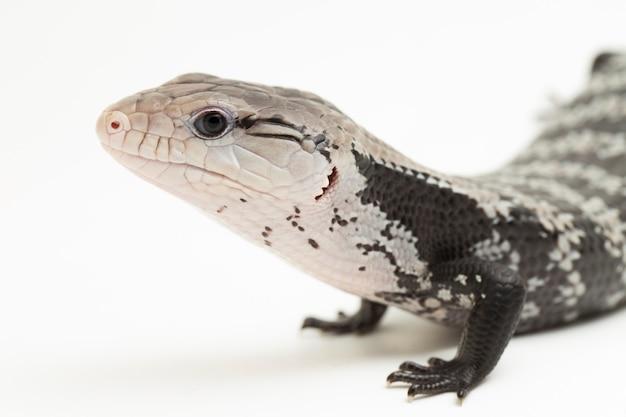 Olbrzymia jaszczurka błękitnoskrzydła lub tiliqua gigas na białym tle