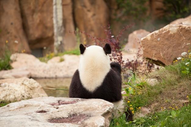 Olbrzymia panda siedzi od tyłu jedząc pędy bambusa w zoo