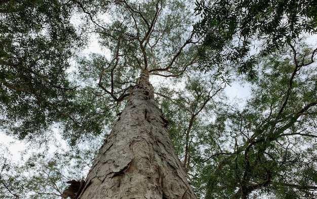 Olbrzymia roślina melaleuca cajuputi, powszechnie znana jako cajuput