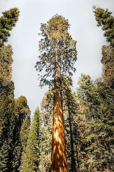 Olbrzymia sekwoja w parku narodowym kings canyon w kalifornii