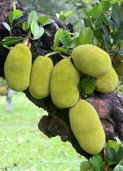 Olbrzymie jackfruit rosnące na drzewie
