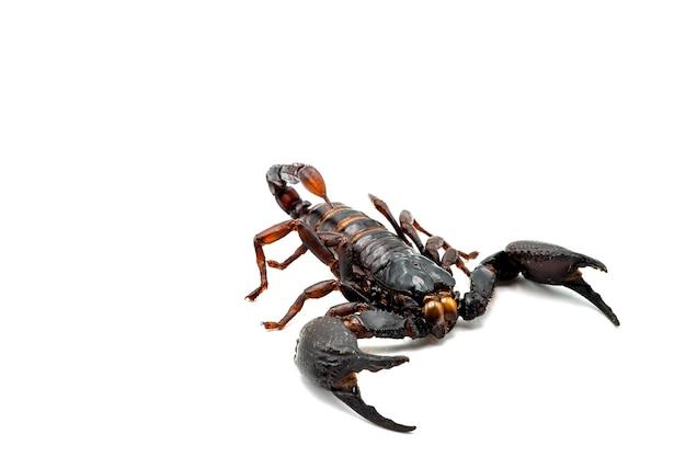 Olbrzymie skorpiony leśne na białym tle.