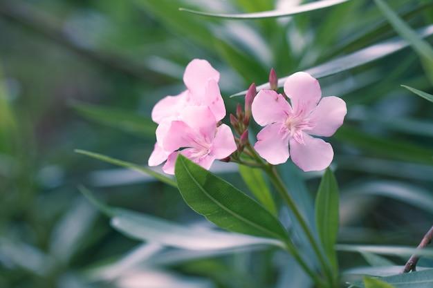Oleander różowy kwiat na tle zielonych liści