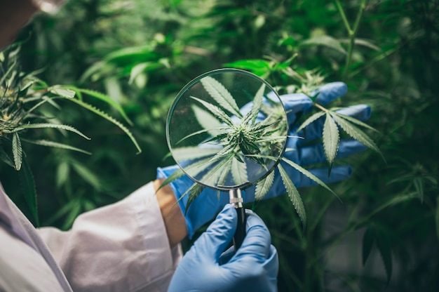 Olej konopny cbd, ręka trzymająca butelkę oleju konopnego przeciwko marihuanie. leczenie ziołowe, medycyna alternatywna