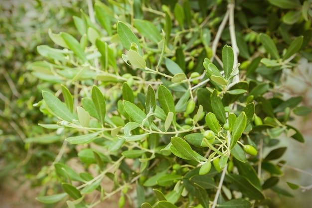Oliwki i drzewo oliwne w letni dzień.