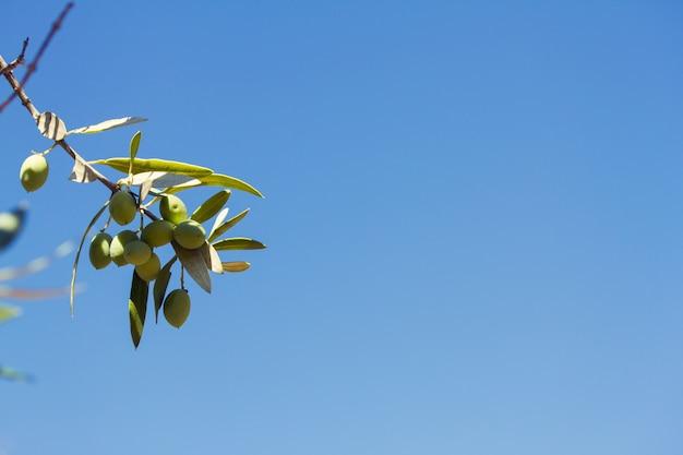 Oliwki na drzewie oliwnym z niebieskim niebem