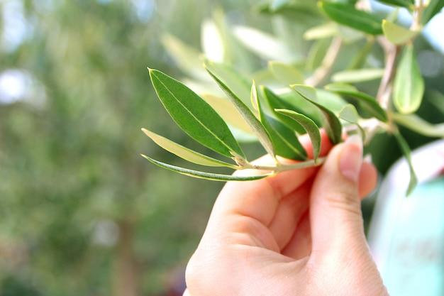 Oliwki na gałęzi drzewa oliwnego