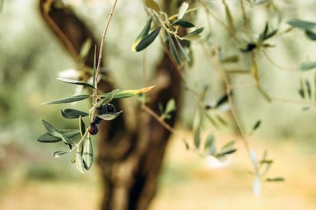 Oliwki na gałęzi. ogród drzew oliwnych, śródziemnomorskie pole oliwne. oliwki na różnych etapach dojrzewania. nieostrość tła.