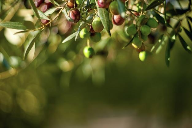 Oliwki na gałęzi