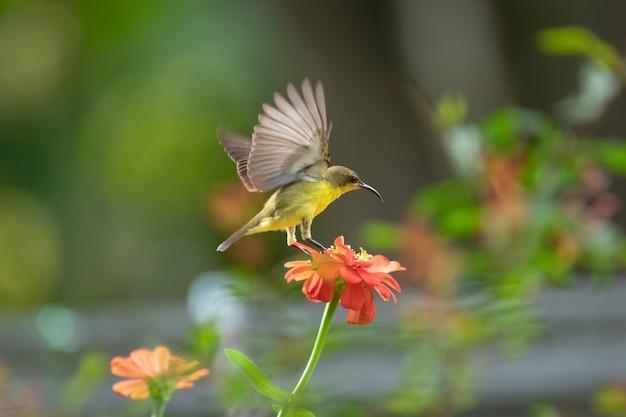 Oliwkowy sunbird na kwiatku