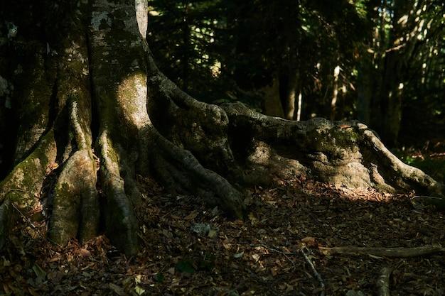 Omszałe korzenie przyporowe starego drzewa w zacienionym lesie deszczowym
