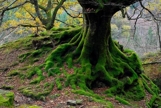 Omszałe Korzenie W Buku. Park Przyrody Gorbeia. Kraj Basków. Hiszpania Premium Zdjęcia
