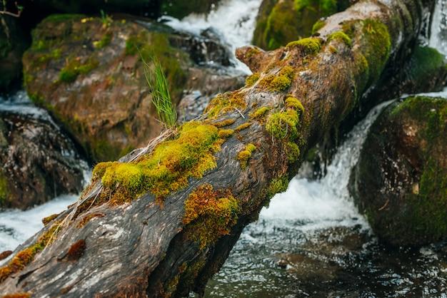 Omszały spadł pień drzewa w górskiej zatoce