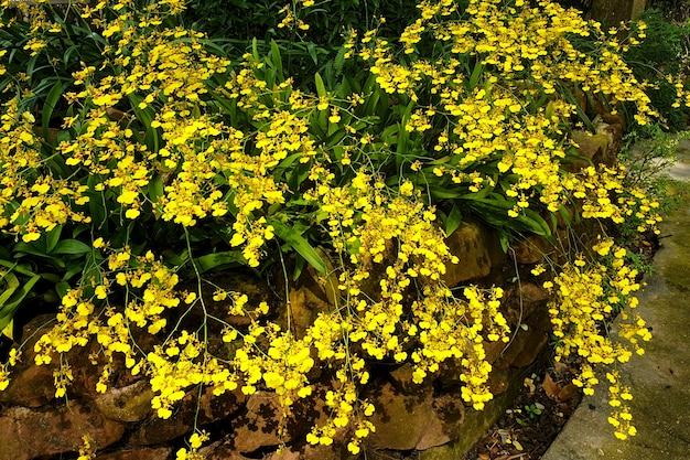 Oncidium piękne żółte kwiaty orchidei dancinglady w ogrodzie