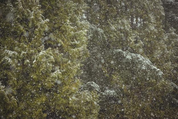 Opad śniegu w zielonym lesie