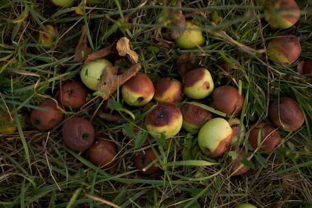 Opadłe jabłka na trawie owocowej natury