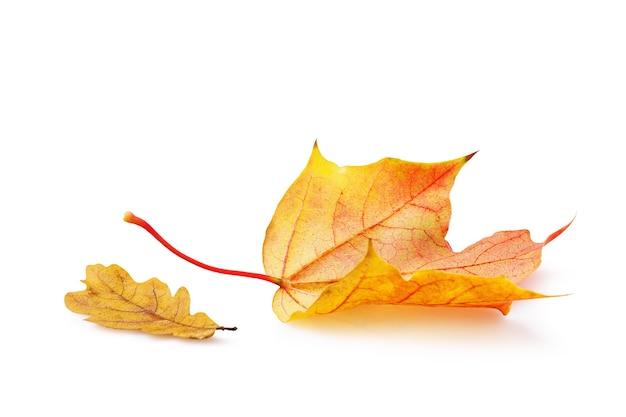Opadłe jesienne liście klonu i dębu w ciepłych, żółtych odcieniach na białej powierzchni