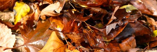 Opadłe jesienne liście klonu są czerwone i mokre.