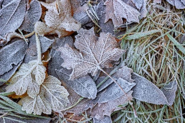 Opadłe jesienne liście na trawie pokrytej szronem. witaj zimo