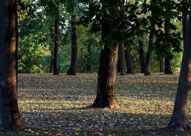 Opadłe liście leżące na trawie w sezonie jesiennym w parku, w którym rosną drzewa liściaste, zbliżenie w słoneczną jesienną pogodę