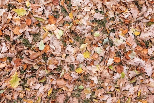 Opadłe suche liście dębu leżą na trawie naturalne tło wielobarwnych liści widok z góry