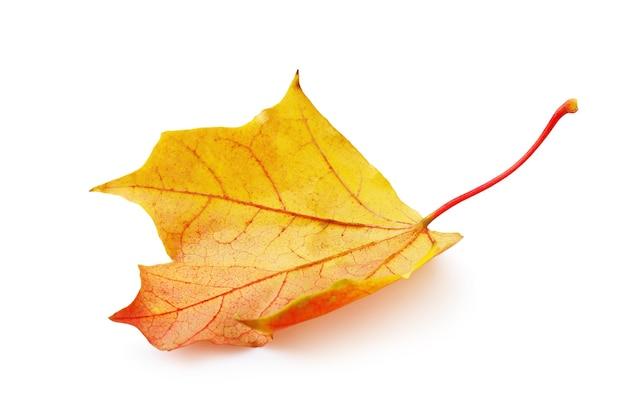 Opadły jesienny liść klonu w ciepłych żółto-czerwonych kolorach na białym tle