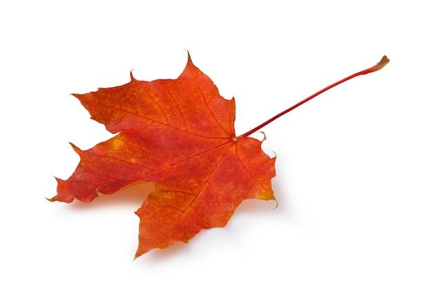 Opadły jesienny liść klonu w czerwonych kolorach na białym tle