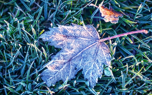 Opadły liść klonowy na zielonej trawie pokrytej szronem.