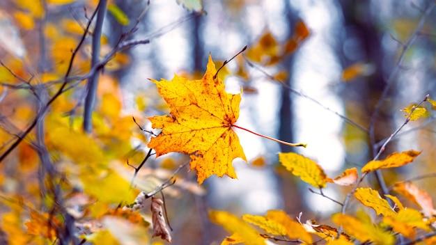 Opadły liść klonu w zaroślach młodych drzew w jesiennym lesie