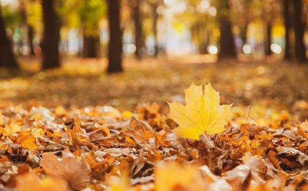 Opadły żółty liść klonu na tle opadłych liści jest podkreślony przez zachodzące słońce w parku, kopia przestrzeń