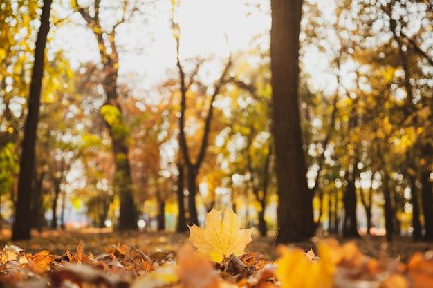 Opadły żółty liść klonu na tle opadłych liści jest podkreślony przez zachodzące słońce w parku