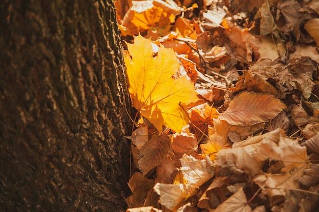 Opadły żółty liść klonu na tle opadłych liści jest podkreślony przez zachodzące słońce